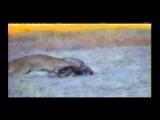Mountain Lion Takes Down Mature 160 Class Mule Deer