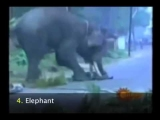 Amazing animal attacks! caught on video