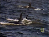 Animals Attack: Killer Whale vs. Sea Lion