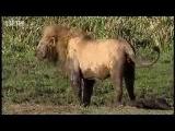 King lions establish new pride – BBC wildlife