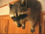 Raccoon Attacks Kitchen!!!