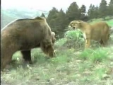 GIANT BEAR ATTACKS BIG COUGAR IN A BEAR VS COUGAR FIGHT CAUGHT ON VIDEO