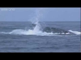 Humpback whales' attempt to stop killer whale attack – Planet Earth Live – BBC One