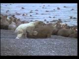 Polar Bear Attacks Sleeping Walruses