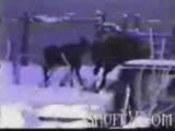 Moose Attacks Guy