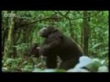 Chimpanzees team up to attack a monkey in the wild – BBC wildlife