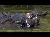 Crocodile attacks Duck 03, Dangerous Animals
