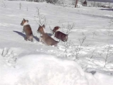 Snickers Corgi Puppies hop like a rabbit in the snow