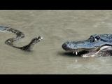 Python vs Alligator 01 — Real Fight — Python attacks Alligator