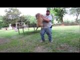 crazy dog attacks fat owner