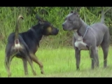 Pitbull Myths Dogumentary – Pitbulls Can Not Get Along With Other Animals??!!??