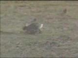 rabbit vs rattlesnake