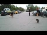 Cat Bouncer Attacks Dog
