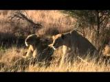 Lions kill! Team Attack HQ by jaandil7
