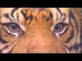 Sumatran Tiger attack on human