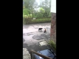 Cat attacks cat HD