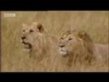 King lion under attack – BBC wildlife