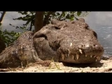 The Ultimate Crocodile: The Most Deadly Animal !!