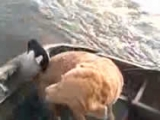 Crazy Goose Attacks Boater and Dog