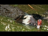 Crocodile attacks Duck 05, Dangerous Animals