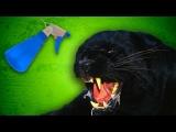 Panther Attack Prank Call